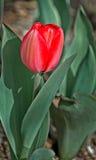 Profondità poco profonda del tulipano fresco Immagini Stock