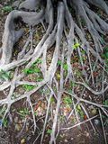 Profound Tree Roots Royalty Free Stock Photos
