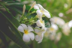 Profumo bianco di PluSweet dal fiore bianco di plumeria Fotografia Stock Libera da Diritti