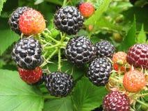 Profumo di Blackberry di estate fotografia stock