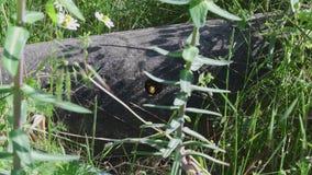 Profumo di un calabrone, che ha suo nido in un tubo concreto archivi video