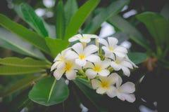 Profumo dolce dal fiore bianco di plumeria Immagine Stock