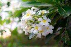 Profumo dolce dal fiore bianco di plumeria Fotografia Stock Libera da Diritti