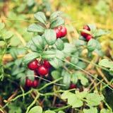 Profundamente - airela vermelha no alimento biológico da floresta Fotos de Stock