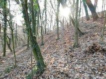 Profundamente en el bosque, rayos del invierno del sol que se rompe a través de los árboles imagen de archivo libre de regalías