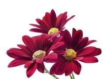Profundamente - flores vermelhas do crisântemo Imagem de Stock