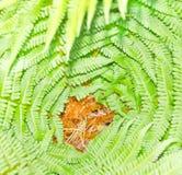 Profundamente - folhas do verde de um fern. Imagens de Stock