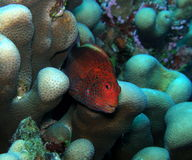 Profundamente - Hawkfish Freckled vermelho Fiji fotos de stock royalty free