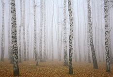 Profundamente névoa na floresta do vidoeiro do outono imagens de stock royalty free