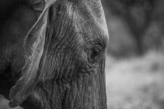 Profundamente no pensamento - elefante africano Imagem de Stock