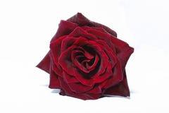 Profundamente - Rosa vermelha Fotos de Stock Royalty Free