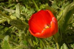 Profundidad baja del tulipán fresco Fotos de archivo libres de regalías