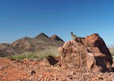 Profundidad extrema de la foto del campo del Roadrunner en una roca Imagenes de archivo