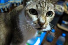 Profundidade do gato malhado de Cat Gray de campo pequena fotos de stock