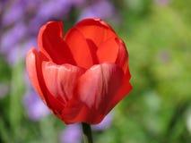 Profundidade rasa do Tulip fresco Fotos de Stock