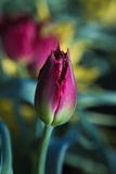 Profundidade rasa do Tulip fresco Fotografia de Stock Royalty Free