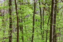 Profundidades Deciduous da floresta (da folha) imagens de stock royalty free