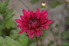 Profundo - flor cor-de-rosa do crisântemo da cor com pólen imagens de stock royalty free