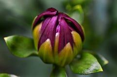 Profundo - foto macro de florescência roxa do crisântemo ou do mum fotos de stock royalty free