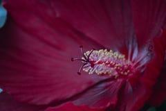 Profundo - macro vermelho do estame do hibiscus imagem de stock royalty free