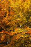 Profusion of colorful fall foliage. In autumn italy royalty free stock photo