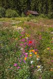 Wildflowers and cabin, Black Forest, Germany royalty free stock images