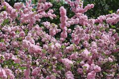 Profusion of double flowering Almond Blossoms. Loaded with bloom double flowering Almond bush stock photos
