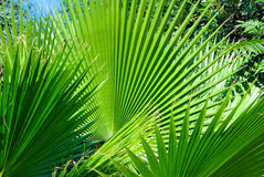 Profusion of fan palms populating the landscape. A wild outcropping of fan palms flourishes near a stream royalty free stock photography