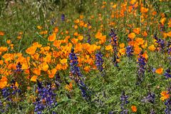 Profusion of golden California Poppies and purple lupine grown wild. An abundance of blooming California poppies and purple lupine wildflowers grown in a green royalty free stock photo