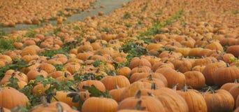 Profusion Of Pumpkins Stock Photos