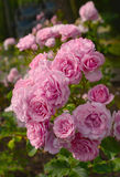 A profusion of pink roses from the Rose Garden in Stanley Park. Stanley Park has a wonderful collection of roses Stock Photos