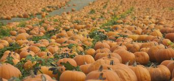 Profusion of pumpkins. Many pumpkins growing in a field Stock Photos