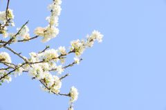 Profusion of white spring blossom plum. With blue sky and white cloud stock photography