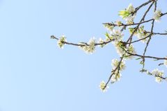 Profusion of white spring blossom plum. With blue sky and white cloud stock image