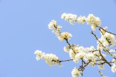 Profusion of white spring blossom plum. With blue sky and white cloud stock photos
