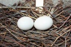Progenie del piccione Due uova del piccione Fotografie Stock Libere da Diritti