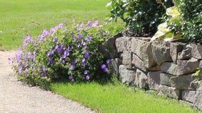 Progettazione del giardino, geranio porpora Hybride (Rozanne), pietre del fiore stock footage