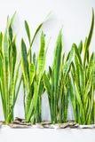 Progettazione dell'impianto dell'ufficio sul concetto bianco del fondo Pianta con le grandi foglie verdi in un vaso bianco fotografia stock libera da diritti