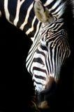 Progettazione della zebra immagini stock