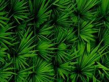 Progettazione delle foglie di palma di Palmira Fotografia Stock Libera da Diritti