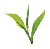 Progettazione di logo della foglia di tè Fotografie Stock