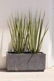 Progettazione moderna di aloe appuntito verde alto Fotografia Stock