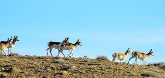 Proghorn antilop Royaltyfria Bilder