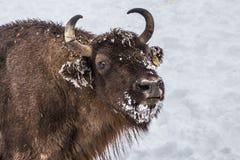 Programa europeo para la restauración de la población europea del bisonte, reserva de Karpaty, Ucrania Foto de archivo