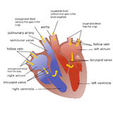 Progress of blood through heart vector illustration