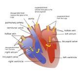 Progresso do sangue através do coração Fotos de Stock Royalty Free