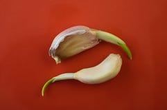 Progrown cloves of garlic on a dish Royalty Free Stock Photos