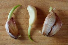 Progrown cloves of garli Stock Image