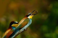 Proie contagieuse d'oiseau de mangeur d'abeille Image stock