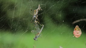 Proie d'araignées banque de vidéos